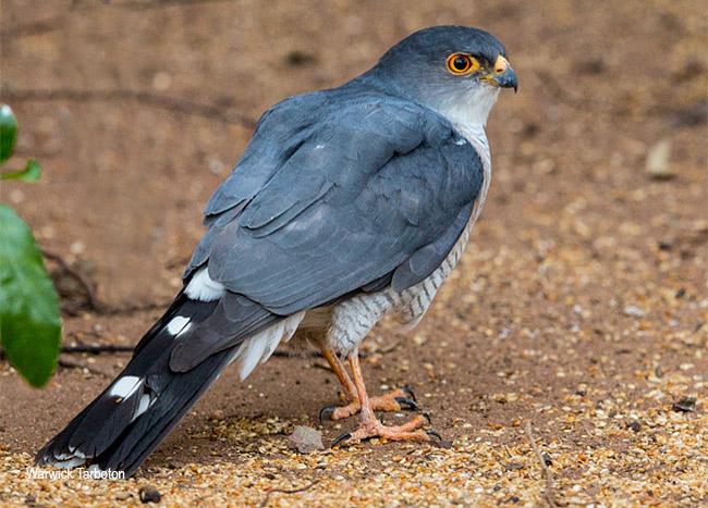 157-Little-Sparrowhawk-Modimolle-Aug2014-J12532.jpg