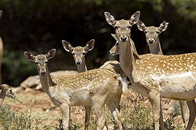400px-Persian_Fallow_Deer_Does.jpg