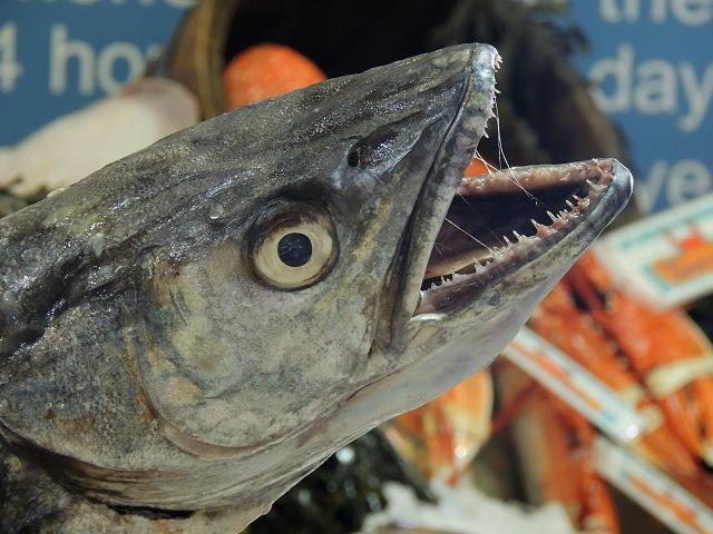 seafish_hake_merluccius_merluccius_25-08-14_1.jpg